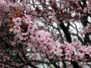 sălbatică, cires, bloom, filiala