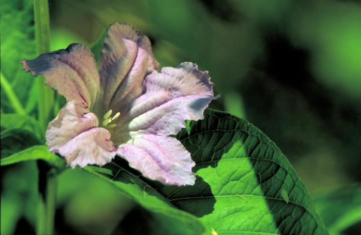 wild, petunia, flower