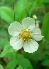 wild, strawberry, flower