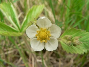 wild, strawberry, flower, yellow flower