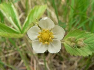 dziki, truskawka, kwiat, żółty kwiat
