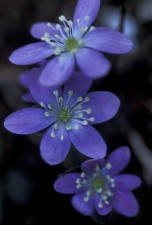 up-close, purple flowers, roundlobe, hepatica, plant