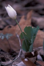 up-close, bloodroot, white flower, flora