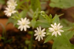 up-close, white, star, chickweed, flower, stellaria, pubera, bloom