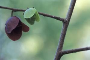 two, flowers, branch, pawpaw, tree, asimina, triloba
