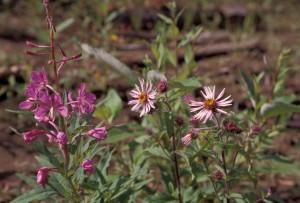 Alaska, up-close, flowering plant, wildflowers