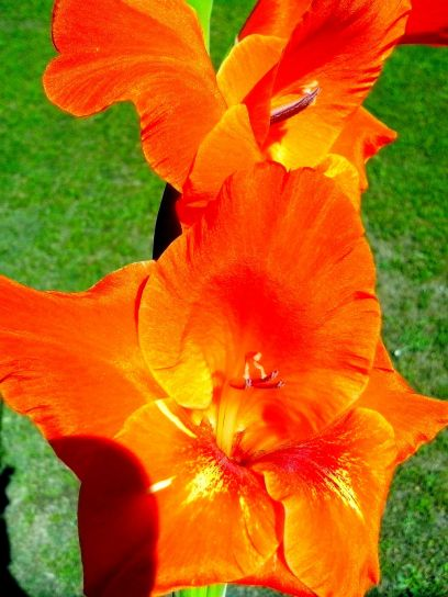 bright, orange flower, petals, blooming