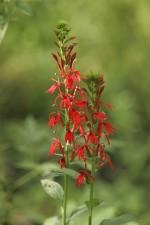 bíboros, virág, virágos, növény