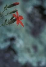 fire, pink flower