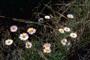 fleabane, астры, цветы