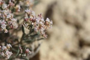 floración, Eriogonum, pelinophilum