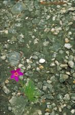 flower, talinum tereotifolium, bright purple flower, stones