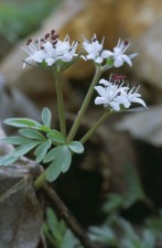 harbinger, spring, plant, erigenia, bulbosa