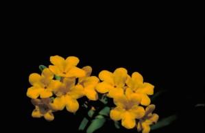 chenus, puccoon, jaune, plante, fleur, lithospermum, canescens