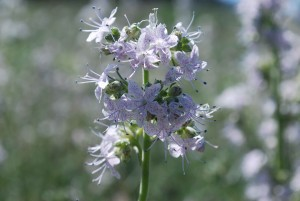ipomopsis, polyantha, Pagosa, monter en flèche, fleurs