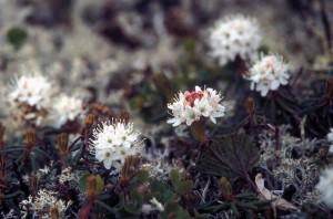 laborador, 차, 식물, 꽃, ledum, palustris, groenlandicum