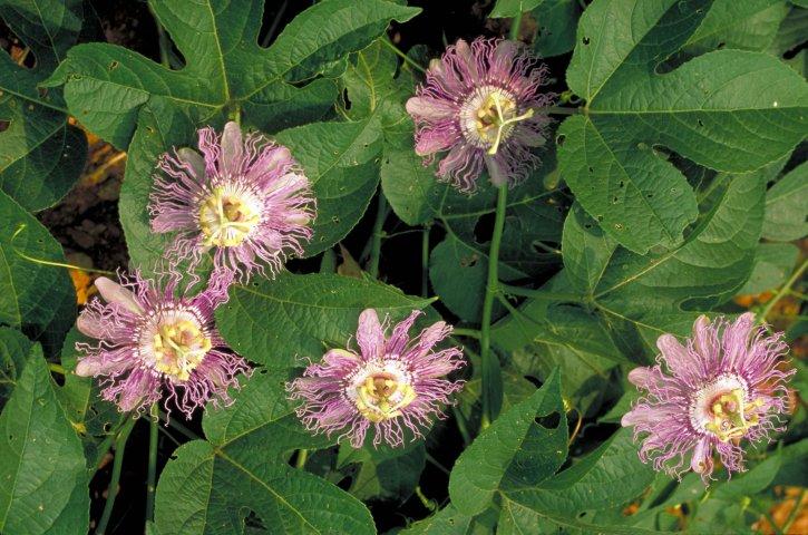 grand, pourpre, passion, fleur, jaune, blanc, centre, Passifloraceae