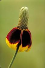 mexicain, chapeau, fleur, plante, Ratibida, columnaris