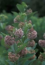milkwed, Pflanze, Blume, asclepias, syriaca