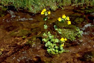 Mimulus guttatus, abe, blomst, gul, abe, blomst
