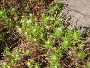 navarretia, fossalis, spreading, navarretia, little, white flowers