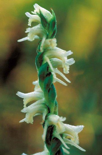 nodding, flower, spiranthes cernua