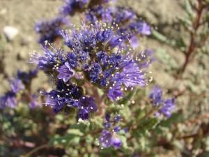 park, phacelia, flowers, phacelia, formosula