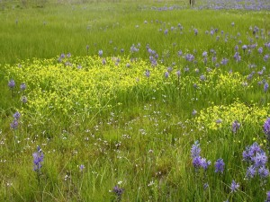 prairie, camas, buttercup, flowers, grass, field