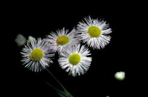 philadelphia, vergerette, fleur blanche, jaune, centre, erigeron, philadelphicus