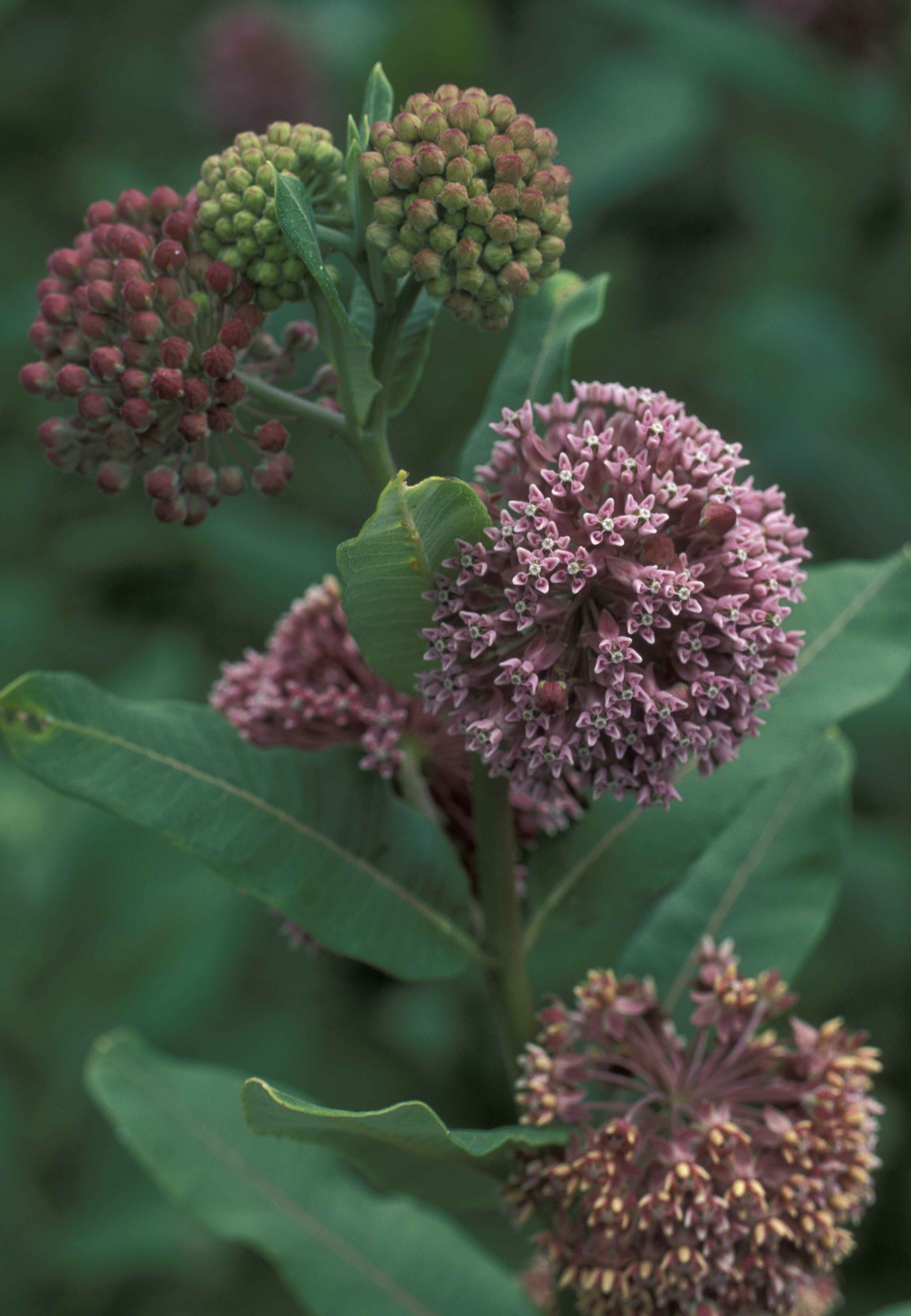 Free Picture Pink Flowers Common Milkweed Plant Asclepias Syriaca