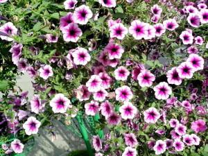 narůžovělé, fialové květiny hrnkové