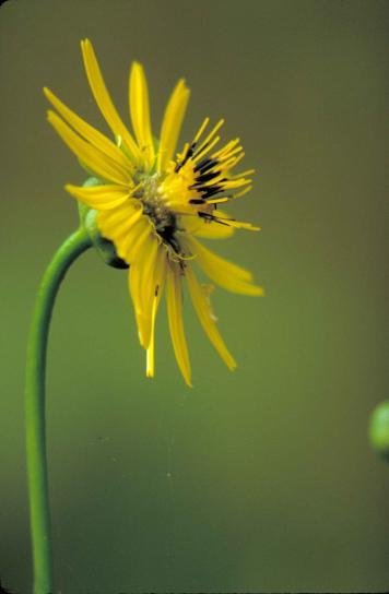 prairie, dock, plant, yellow flower, yellow, black, center, silphium, terebinthinaceum