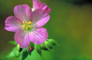 carino, viola, selvatico, geranio, fiore, fiore, geranio, maculatum