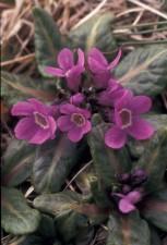 pribilof, wildflowers, primual, eximia, primula, tschuktschorum