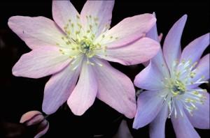 pourpre, fleur blanche, jaune, centre, faux, anémone, fleur