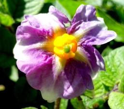 Ljubičasti cvijet, krumpir