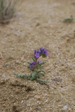 purple flowering, park, phacelia, phacelia, formosula