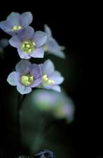 purple flowering, plant, jacob, ladder, polemonium, bruntiae