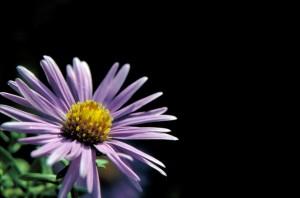 pourpre, l'angleterre, fleur, jaune, centre, aster, novae, angliae