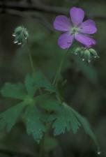 pourpre, pétales, feuilles vertes, sauvage, géranium, fleur, géranium, maculatum