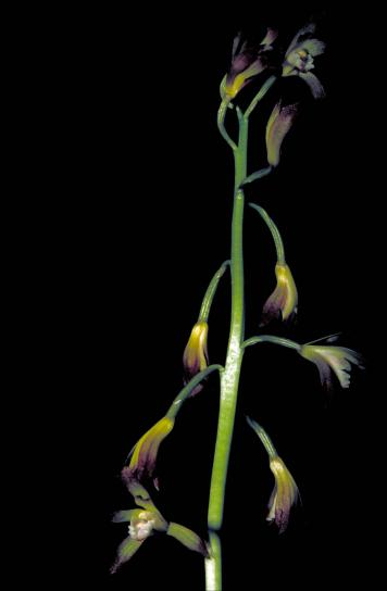 putty, root, stem, aplectrum, hyemale, yellow, purple, orchid, blooms