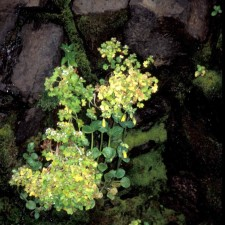 rat, island, wildflowers, mimulas, guttatus, saxifraga, bractiata