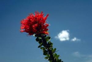 rouge, ocotillo, fleur