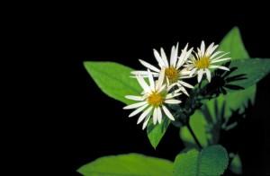 Rockcastle, aster, plante, fleur, Eurybia, saxicastellii