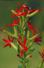 royal, catchfly, plant, flower, silene, regia