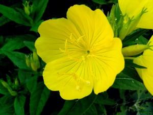 enkelt, gul blomst, tæt