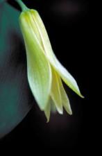 mali, zeleni, bijeli, bellwort, cvijet, uvularia, sessilifolia, Rascvjetane