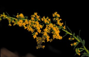 solidago, shortii, flower