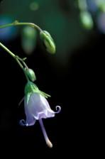 soutern, Harbell, plante, fleur, ampoule, campanules, divaricata