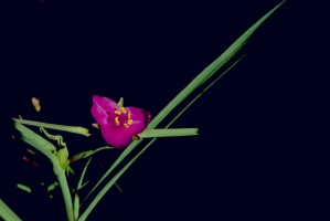 spiderwort, plant, tradescantia, ohiensis, red, purple flower